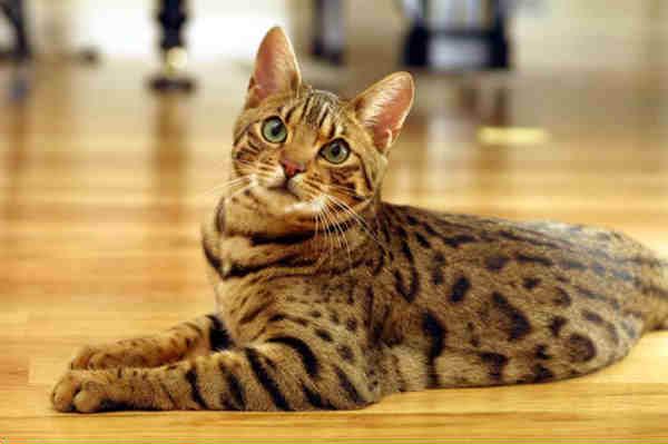 Бенгальская кошка - порода, не имеющая аналогов.