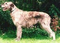 Primary Health Concerns in the Irish Wolfhound Breed