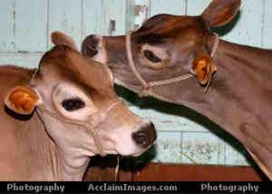 Welcome to the Atlantic Veterinary College Bovine Club Website
