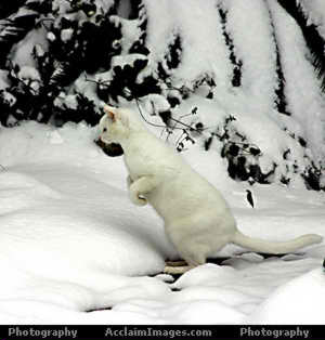 Where Do Snow Cats Get Shipped In