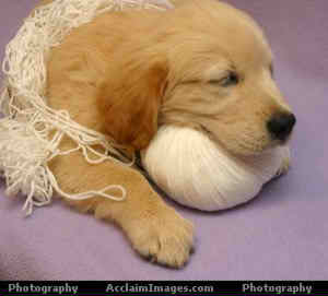 http://petcaretips.net/golden_retriever_puppyA.jpg