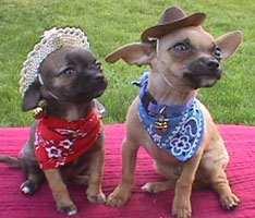 terriers airedale terrier american bull terrier australian terrier